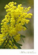 Wattle Framed Prints - Wattle Framed Print by Holly Kempe