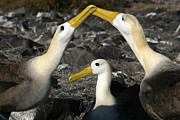 Albatross Prints - Waved Albatross Mating Ritual Print by Matt Tilghman