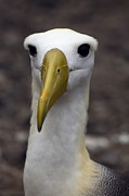 Waved Albatross Photos - Waved Albatross Portrait by Sally Weigand