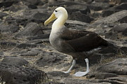 Waved Albatross Photos - Waved Albatross Walking by Sally Weigand