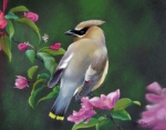 Cherry Blossoms Pastels Prints - Waxwing and Cherry Blossoms Print by Marcus Moller