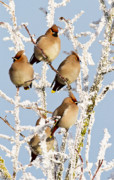 Christmas Card Photo Originals - Waxwings and hoar frost by Bob Kemp