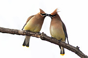 Cedar Waxwing Posters - Waxwings in love Poster by Mircea Costina Photography