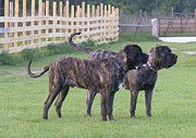 Brindle Originals - We hunt by Mrs G
