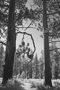 Pine Trees Photos - We Two by Laurie Search