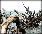 Tree Roots Digital Art Prints - Weathered Beach Trees III Print by Sheri McLeroy