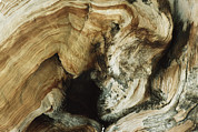 Pinus Prints - Weathered Trunk Of Ancient Bristlecone Print by Gordon Wiltsie