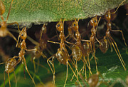Frontal Metal Prints - Weaver Ant Oecophylla Longinoda Group Metal Print by Mark Moffett
