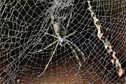 Arachnid Framed Prints - Web of Complexity Framed Print by Douglas Barnard