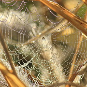 Web Of Jewels Print by Penny Meyers