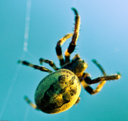 Orb Weaver Framed Prints - Web Site Framed Print by Charles Dobbs