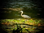 Heron Photos - Webster Lake Heron by Joyce  Kimble Smith