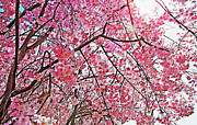 Flowers Scent Digital Art - Weeping Cherry Blossoms 2 by Steve Ohlsen