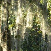Spanish Moss Photos - Weeping Tree III by Leslie Revels Andrews