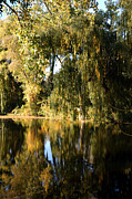 Nature Center Pond Prints - Weeping Willow in Michigan Print by LeeAnn McLaneGoetz McLaneGoetzStudioLLCcom