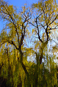 Micheal Landers - Weeping Willow