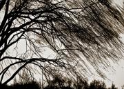 Austin Digital Art Posters - Weeping Willow Tree  Poster by Carol F Austin
