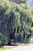 Artography Acrylic Prints - Weeping Willow Tree Acrylic Print by Jayne Logan Intveld