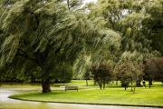 Willow Lake Digital Art Posters - Weeping Willow Trees on Windy Day Poster by Carol F Austin