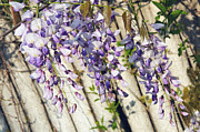 Fragrance Mixed Media Prints - Weeping Wisteria Print by Andee Photography
