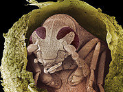 Destructive Prints - Weevil In A Pea, Sem Print by Steve Gschmeissner