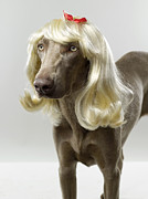 Pampered Pet Framed Prints - Weimaraner (canis Lupis Familiaris) With Wig Framed Print by Catherine Ledner
