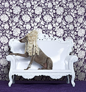 High Society Posters - Weimaraner (canis Lupus Familiaris) On Couch Poster by Catherine Ledner