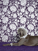High Society Posters - Weimaraner (canis Lupus Familiaris) On Purple Poster by Catherine Ledner