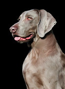 Pet Portraits Digital Art Prints - Weimaraner  Print by Julie L Hoddinott