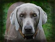 Best Friend Framed Prints - Weimaraner Pup Framed Print by Terry Kirkland Cook