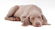 Sleeping Dog Posters - Weimaraner Puppy Poster by Jane Burton