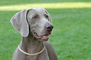 Veterinary Prints - Weimaraner Print by Waldek Dabrowski