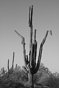 Stock Images Prints - Weird Giant Saguaro Cactus in Black and White Print by James Bo Insogna