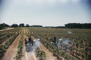 Grapevines Photos - Welchs Grape Vineyard Covers 250 Acres by Willard Culver
