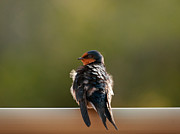 Little Birds Prints - Welcome Swallow Print by Heather Thorning