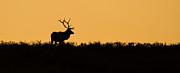 Bull Elk Posters - Welcome the Dawn Poster by Sandy Sisti
