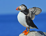 Atlantic Puffin Posters - Welcoming The Sunrise Poster by Tony Beck
