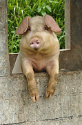 Pig Photo Posters - Well Hello There Poster by Bob Christopher