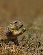 Prairie Dog Framed Prints - Well I Reckon So Framed Print by Robert Frederick