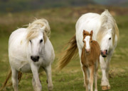 White Unicorn Photos - Welsh Ponies by Angel  Tarantella