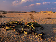 Long-lived Photos - Welwitschia Mirabilis by Bob Gibbons