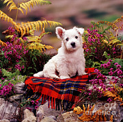 Animal Portraiture Framed Prints - West Highland Terrier Framed Print by Jane Burton