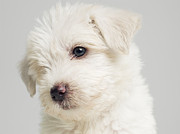 White Dog Prints - West Highland Terrier Puppy Sitting In Studio, Close Up Print by Roger Wright