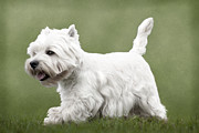 White Dogs Posters - West Highland Terrier Trotting Poster by Ethiriel  Photography