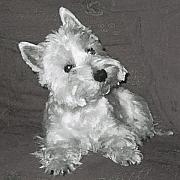 Westie Terrier Digital Art - West Highland White Terrier by Charmaine Zoe