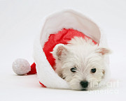 Dog Portraits Photos - West Highland White Terrier by Jane Burton