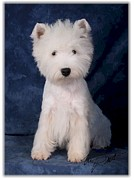 Westie Pup Framed Prints - West Highland White Terrier pup Framed Print by Maxine Bochnia
