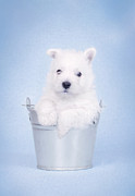White Maltese Photos - West Highland White Terrier puppy in the bucket  by Waldek Dabrowski
