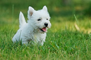 Veterinary Prints - West highland white terrier puppy portrait Print by Waldek Dabrowski