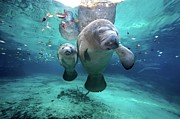 Underwater Metal Prints - West Indian Manatees Metal Print by James R.D. Scott